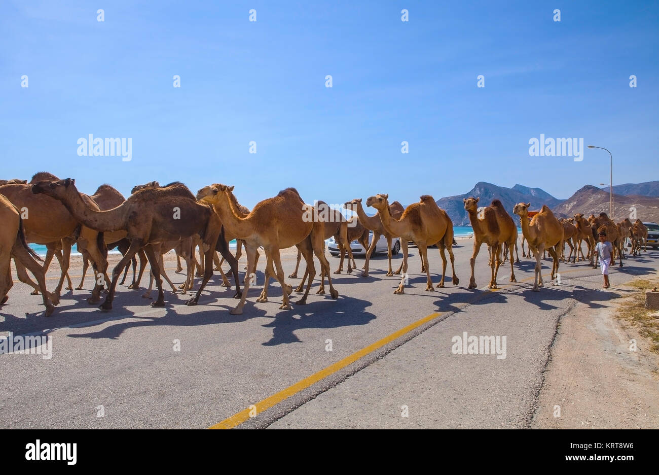 Al Mughsayl, Oman - January 10 : Camels being driven to pastures, accompanied by their owner in the truck. Jan 10, - Stock Image