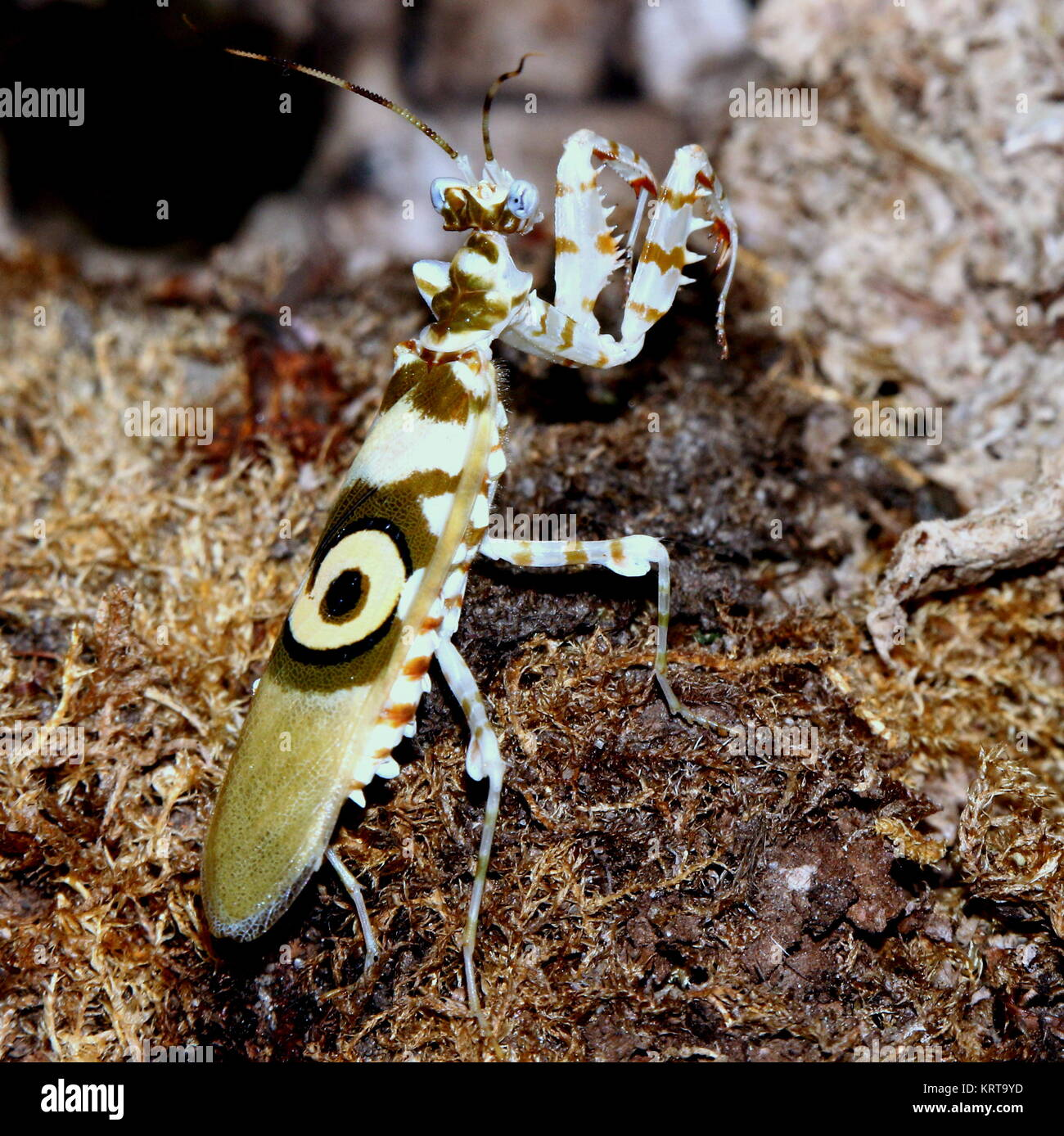 East African Spiny flower mantis (Pseudocreobotra wahlbergi) walking - Stock Image