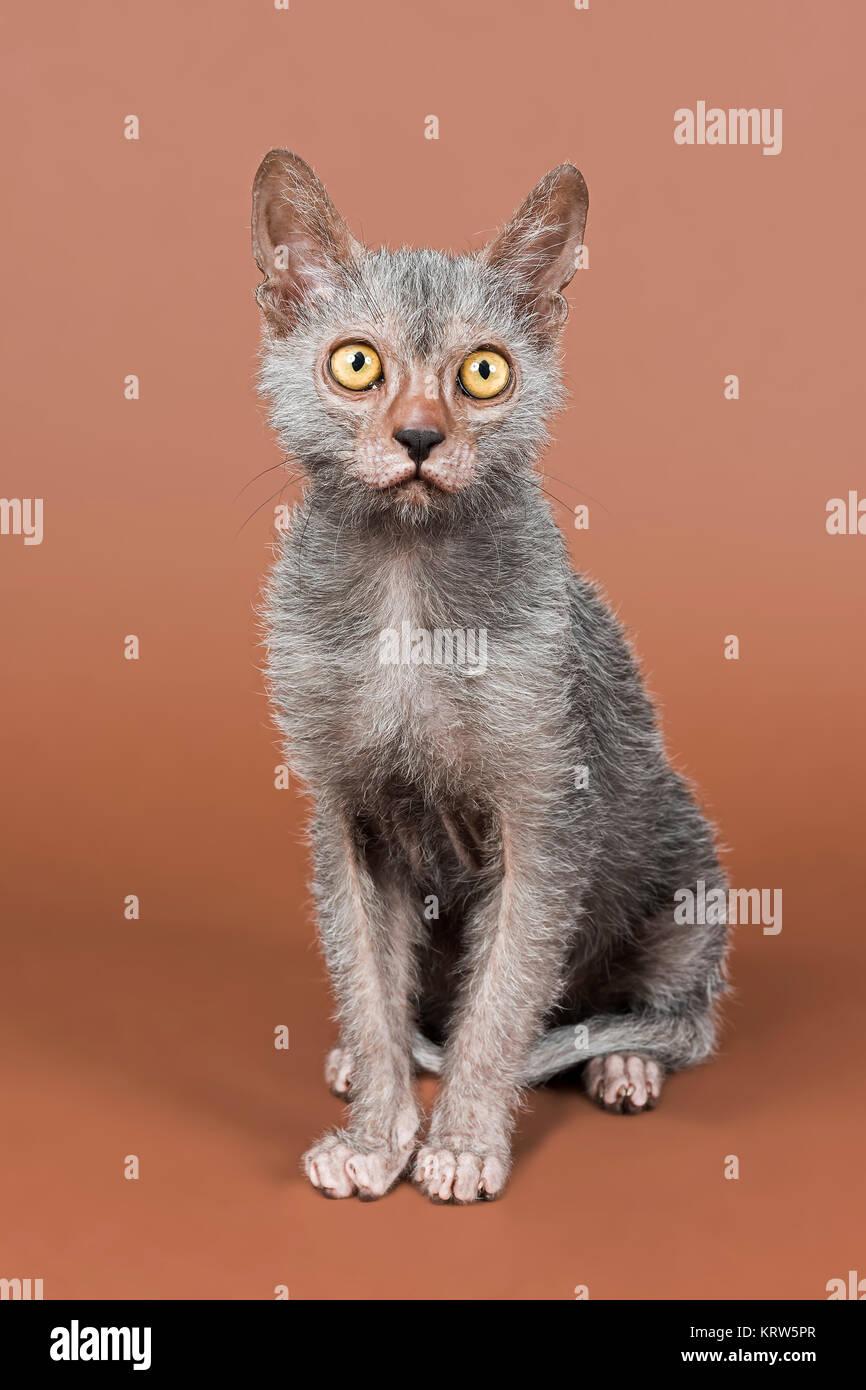 Rassekatze Werwolf (Lykoi) Kitten, Alter 6 Monate Stock Photo