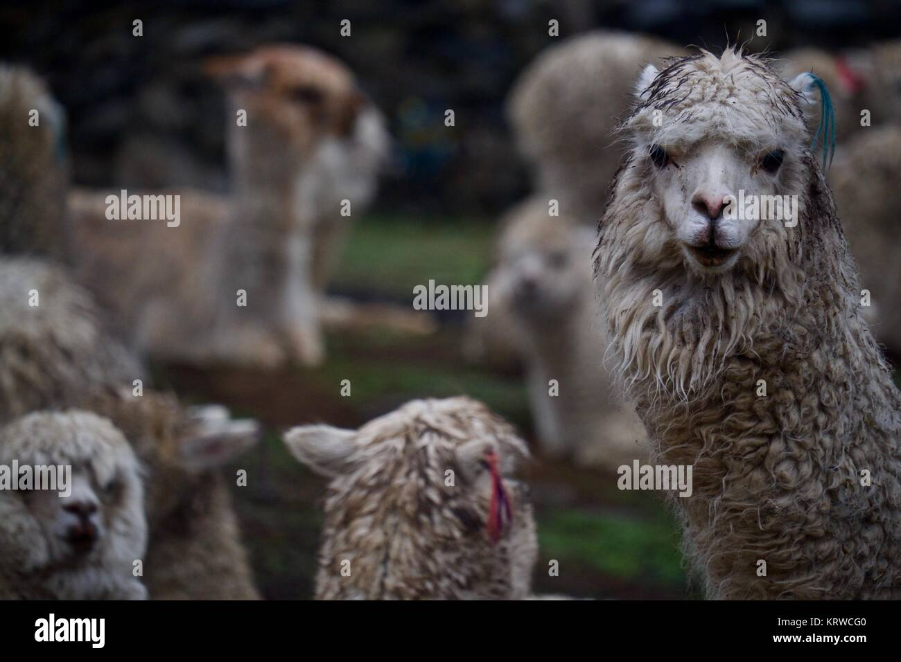 Herd of alpacas in Q'ero village in Andes near Sacred Valley. Q'ero are considered to be spiritual ancestors - Stock Image