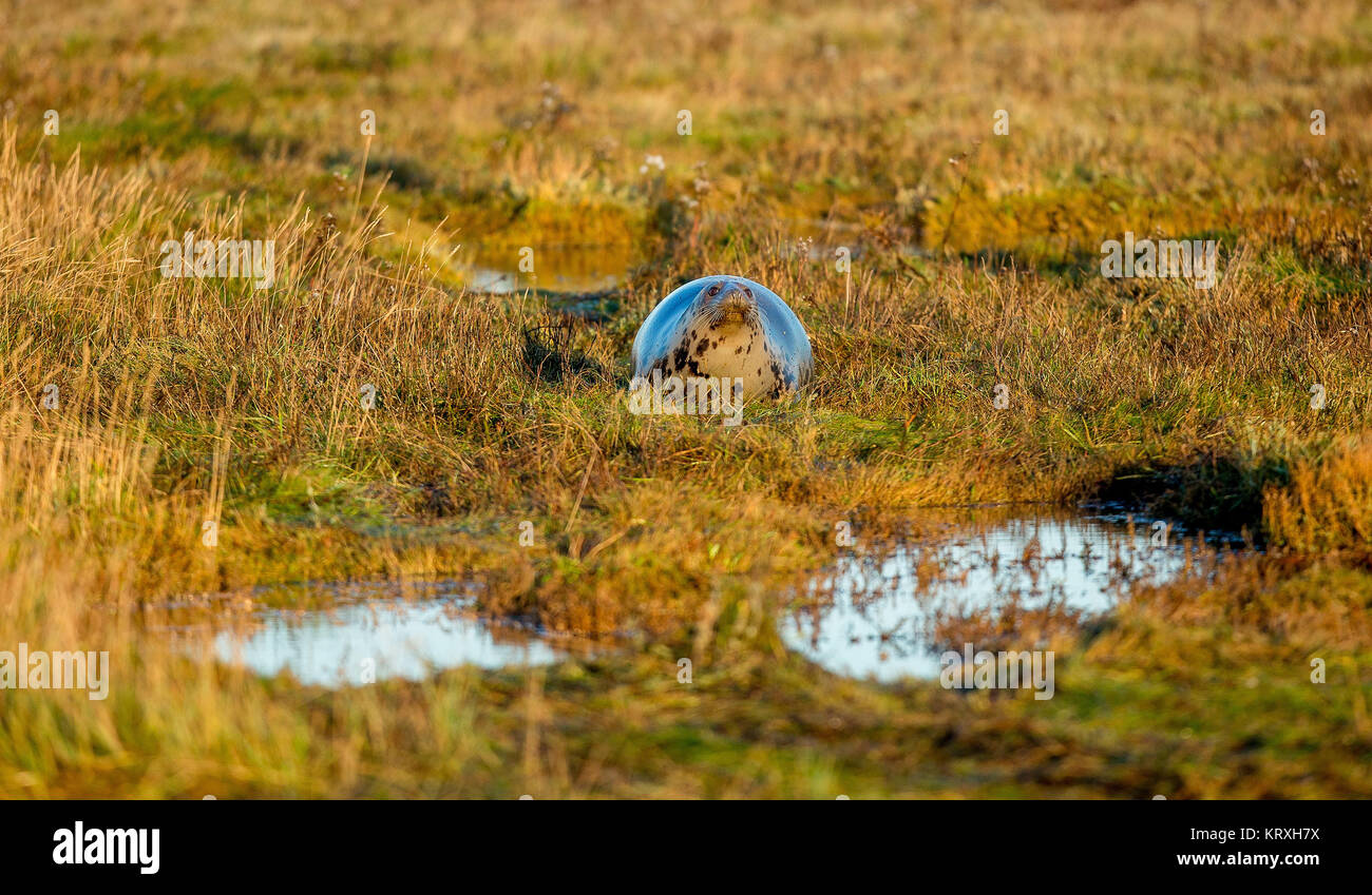 Donna Nook, Lincolnshire, UK. 5th Nov, 2017. Greys Seal in the Morning light at the UK Military Range Donna Nook, Stock Photo