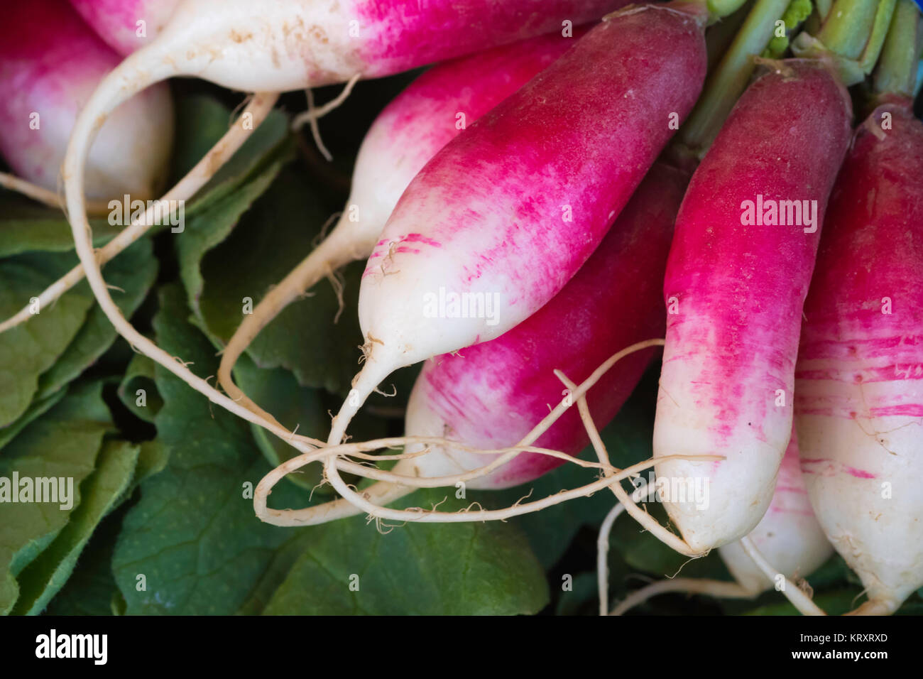 close up view of a bunch of French breakfast radishes - Stock Image