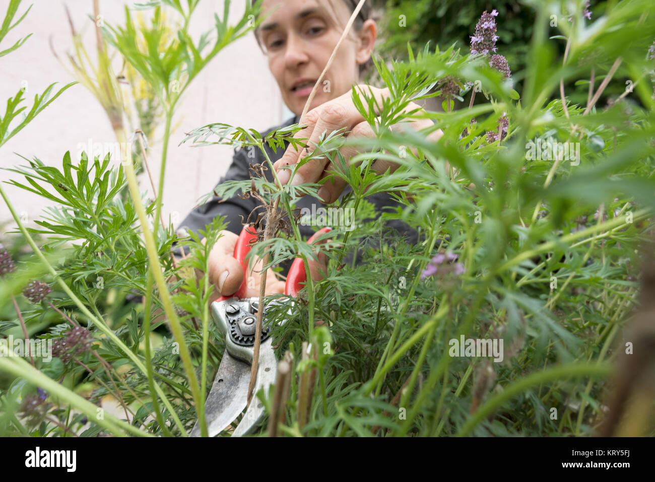 A woman pruning bushes in a garden - Stock Image