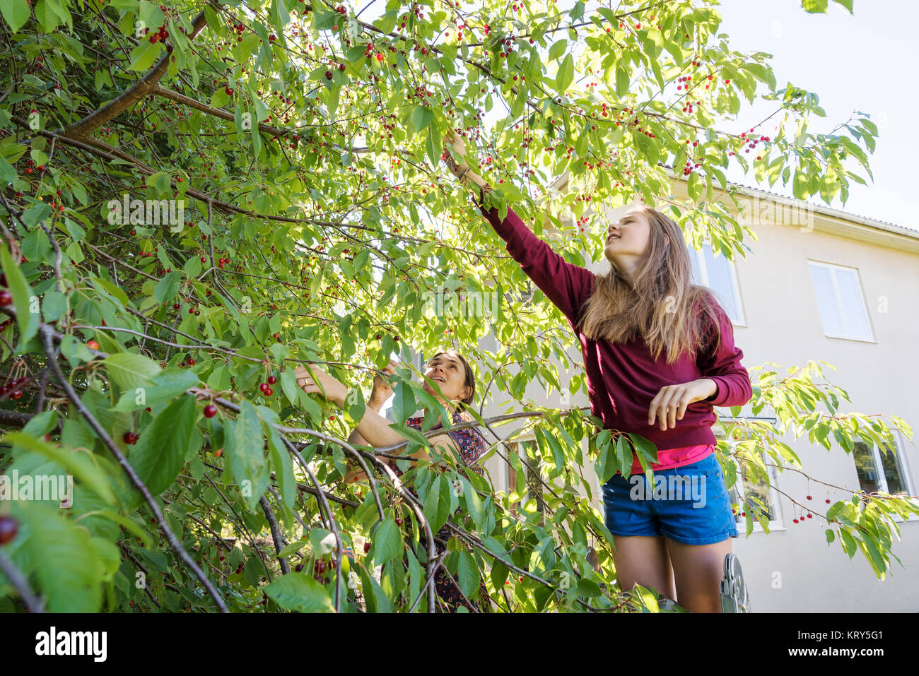 A woman and a girl picking cherries from the tree - Stock Image