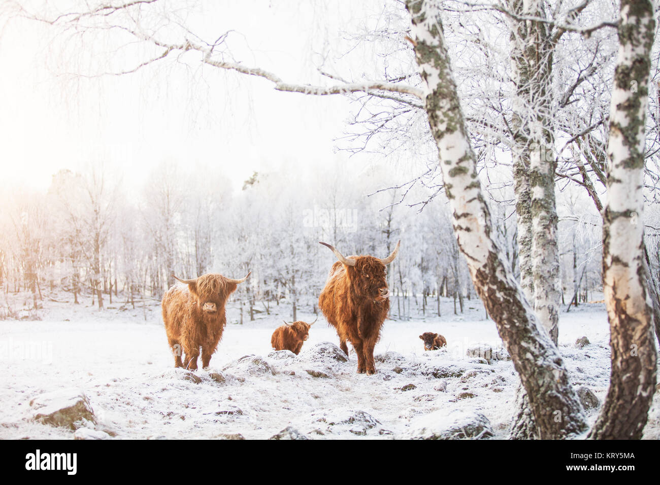 Highland cattle in the snow - Stock Image