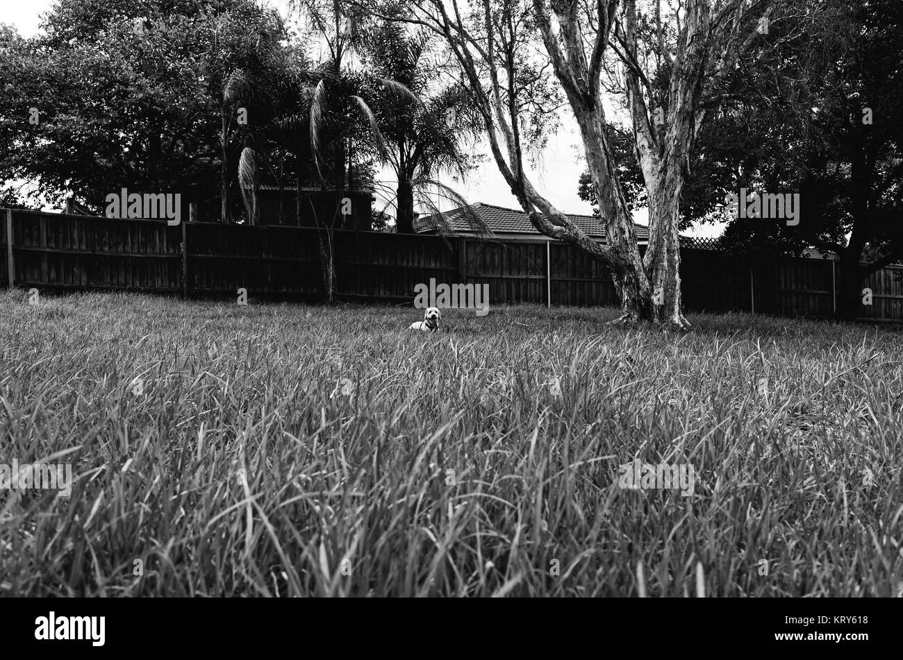 A black and white photo of a happy dog in a big field of grass in a suburban park. - Stock Image