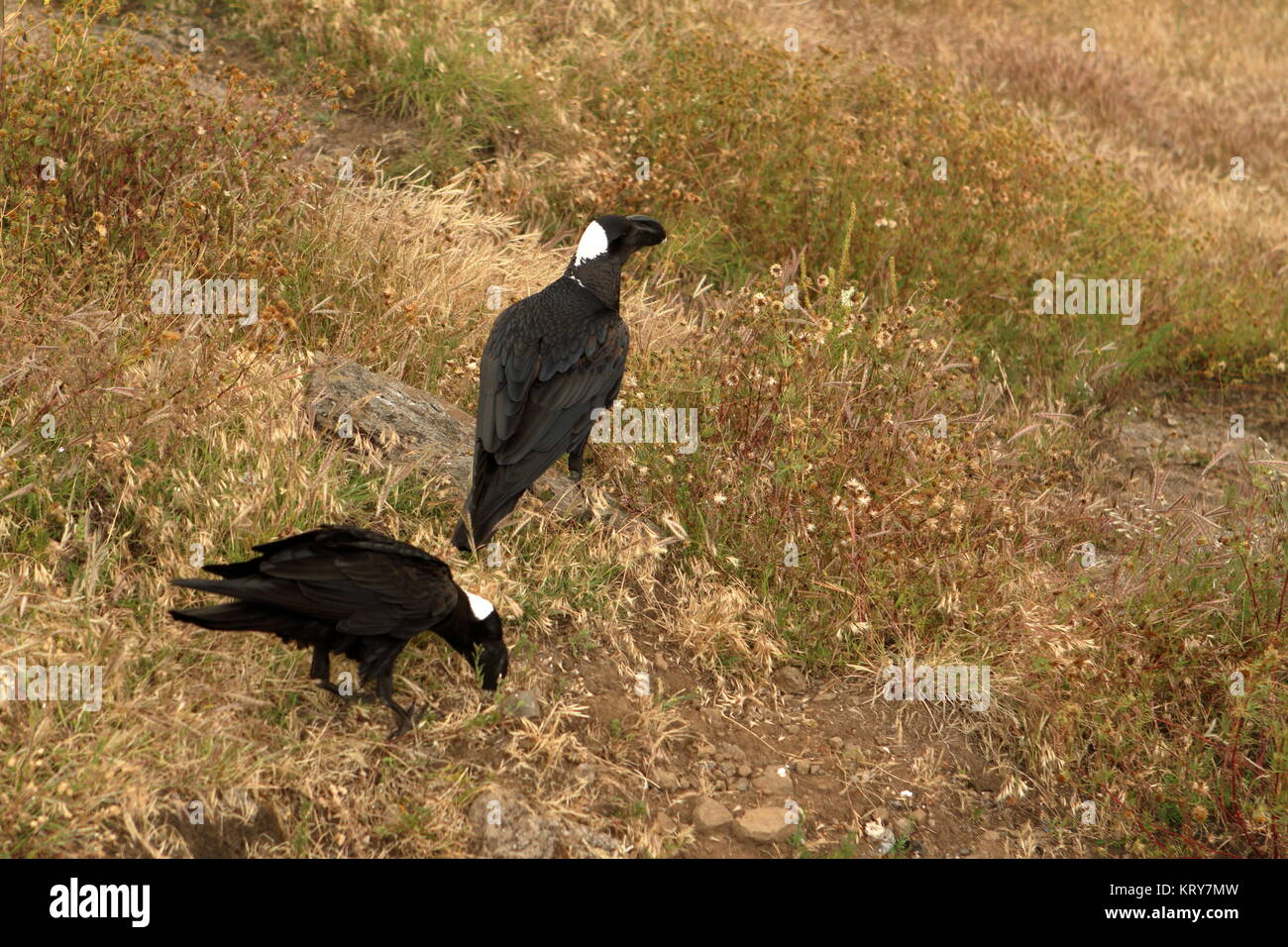 erzraben from ethiopia - Stock Image