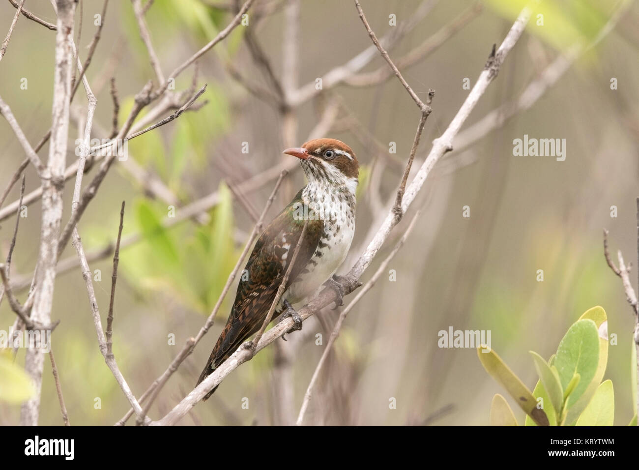diederik cuckoo or diedric cuckoo Chrysococcyx caprius adult female perched in bush, Gambia - Stock Image
