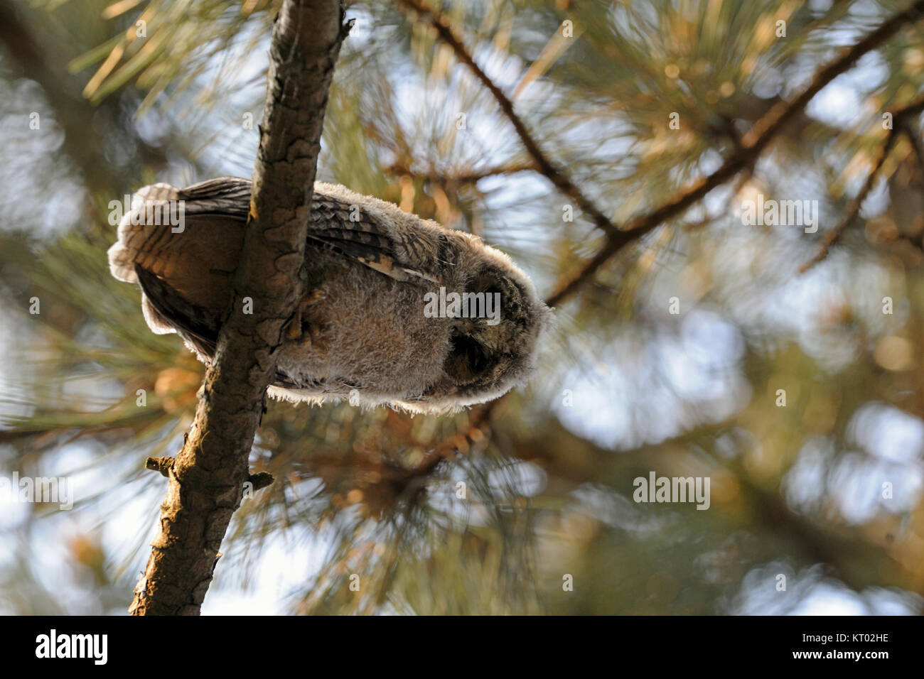 Long-eared Owl / Waldohreule ( Asio otus ), young chick, just fledged, perched in a tree, watching down, bottom Stock Photo