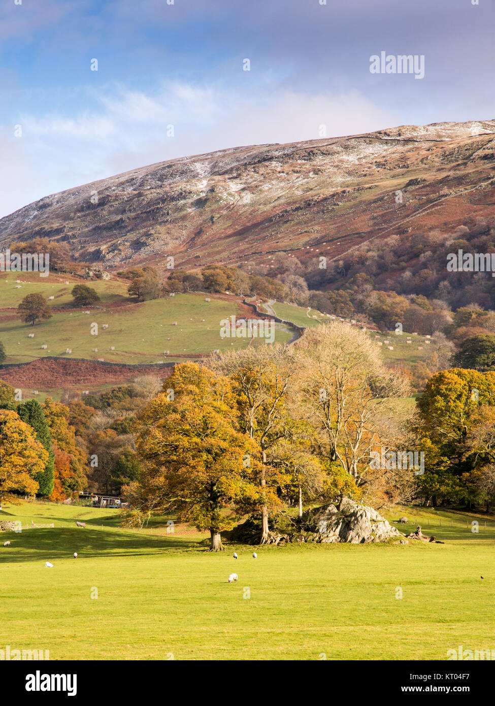 Sheep graze under autumn trees and snow-dusted mountains in fields near Ambleside in England's Lake District - Stock Image