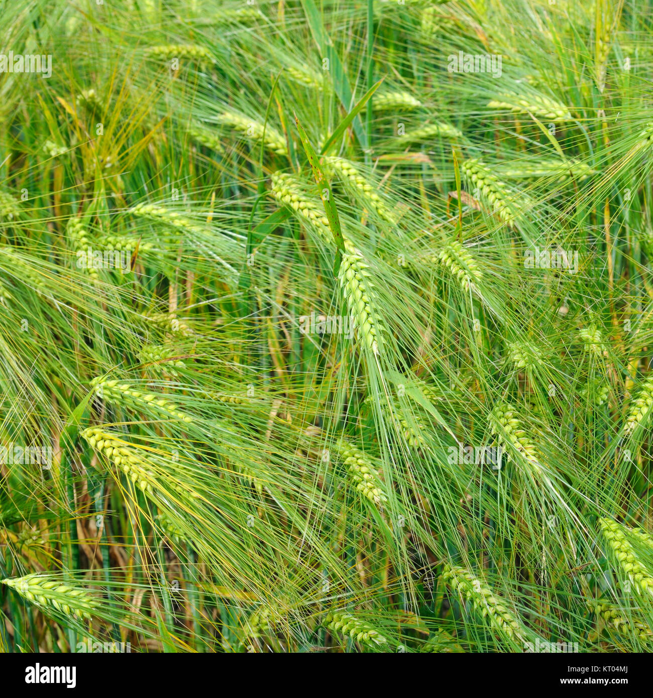 bright background of wheat ears - Stock Image