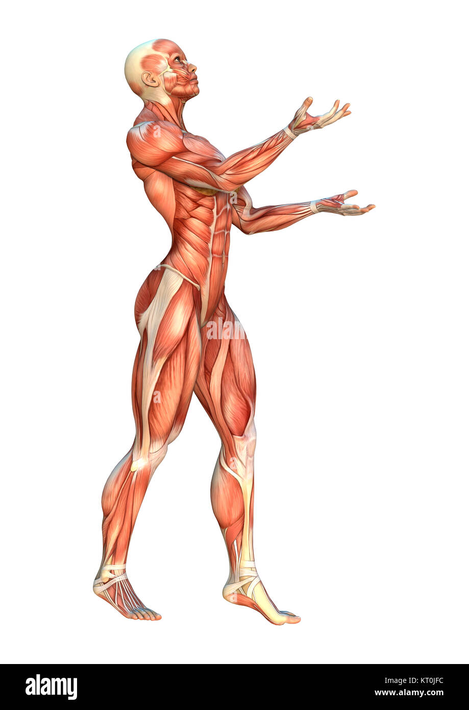3D Rendering Muscle Maps - Stock Image