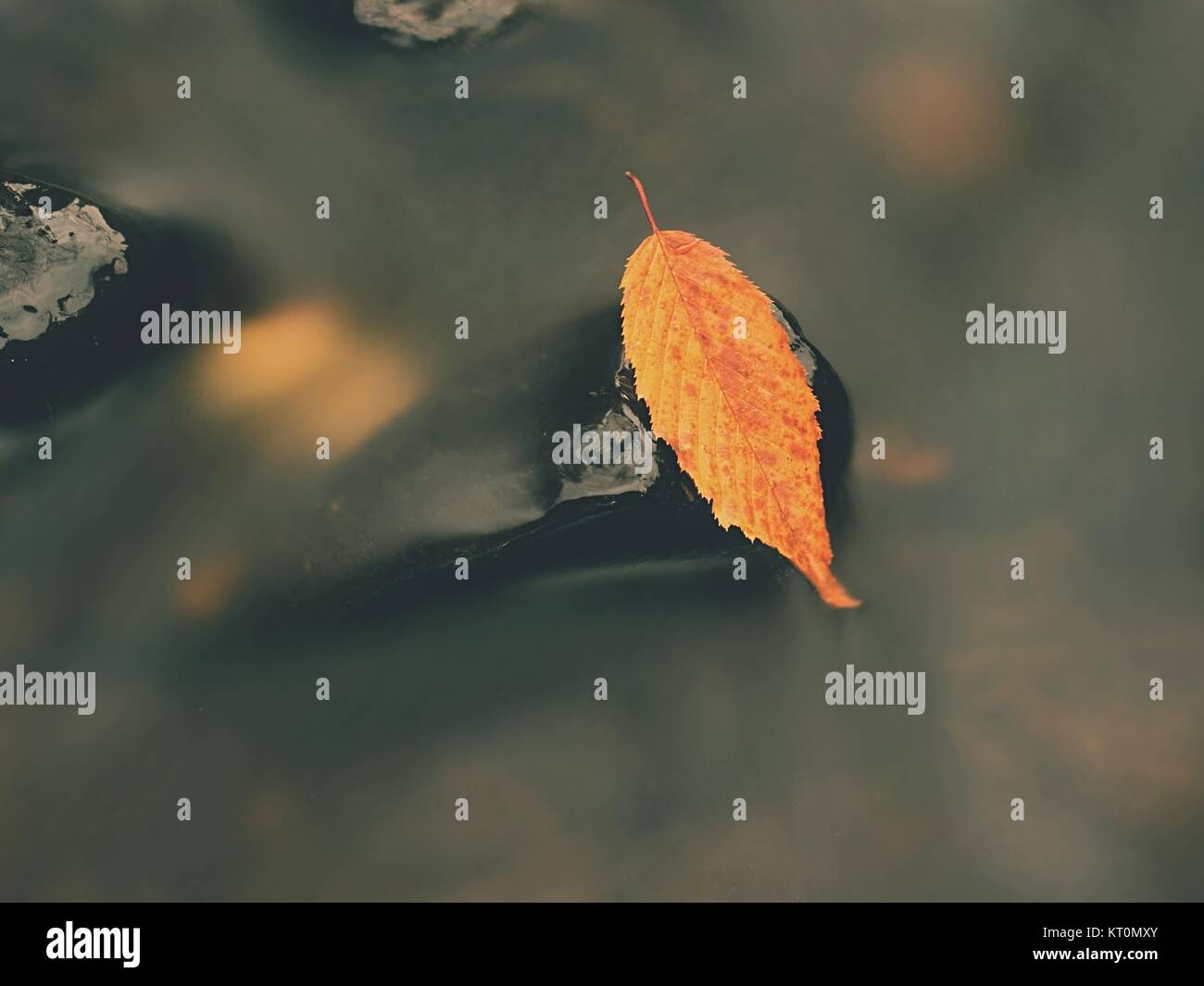 Yellow orange  rotten old beech  leaf on basalt stone in cold blurred water of mountain river, first leaf of coming - Stock Image