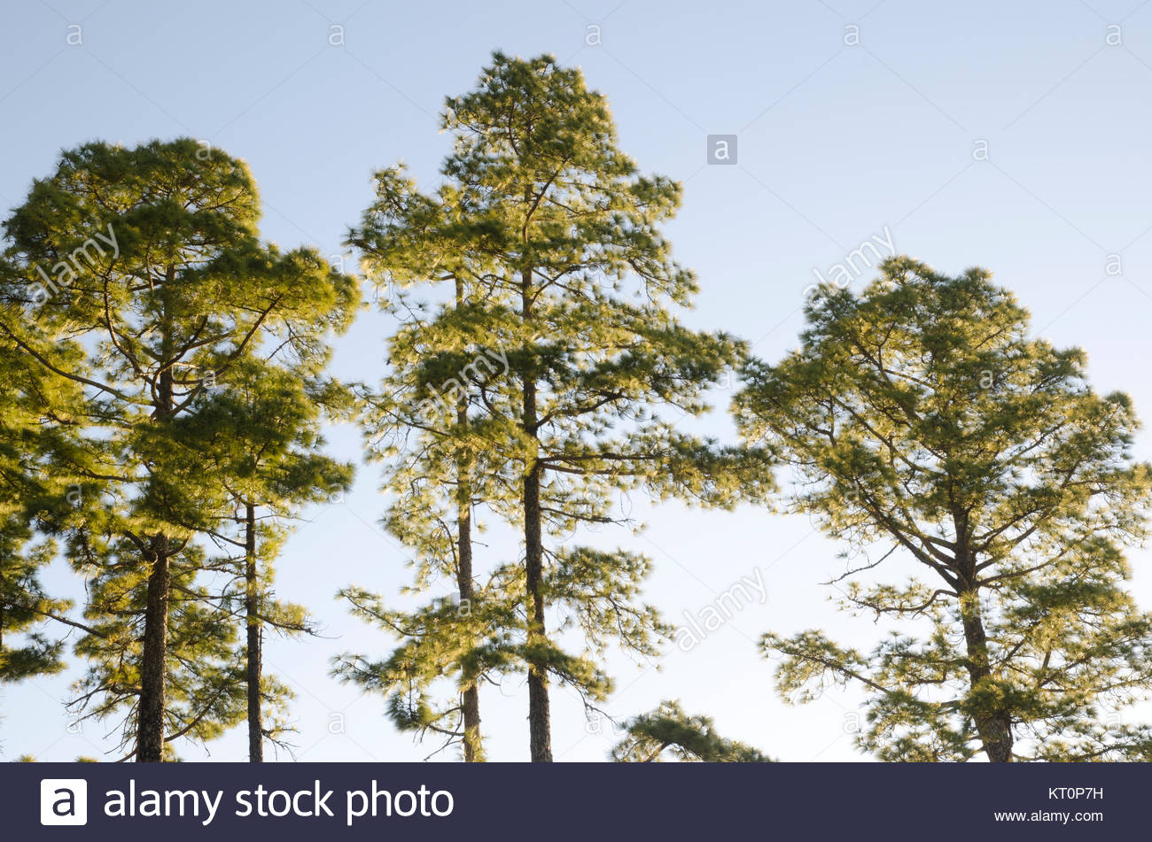 Forest of Canary Island pine (Pinus canariensis). Integral Natural Reserve of Inagua. Tejeda. Gran Canaria. Canary - Stock Image