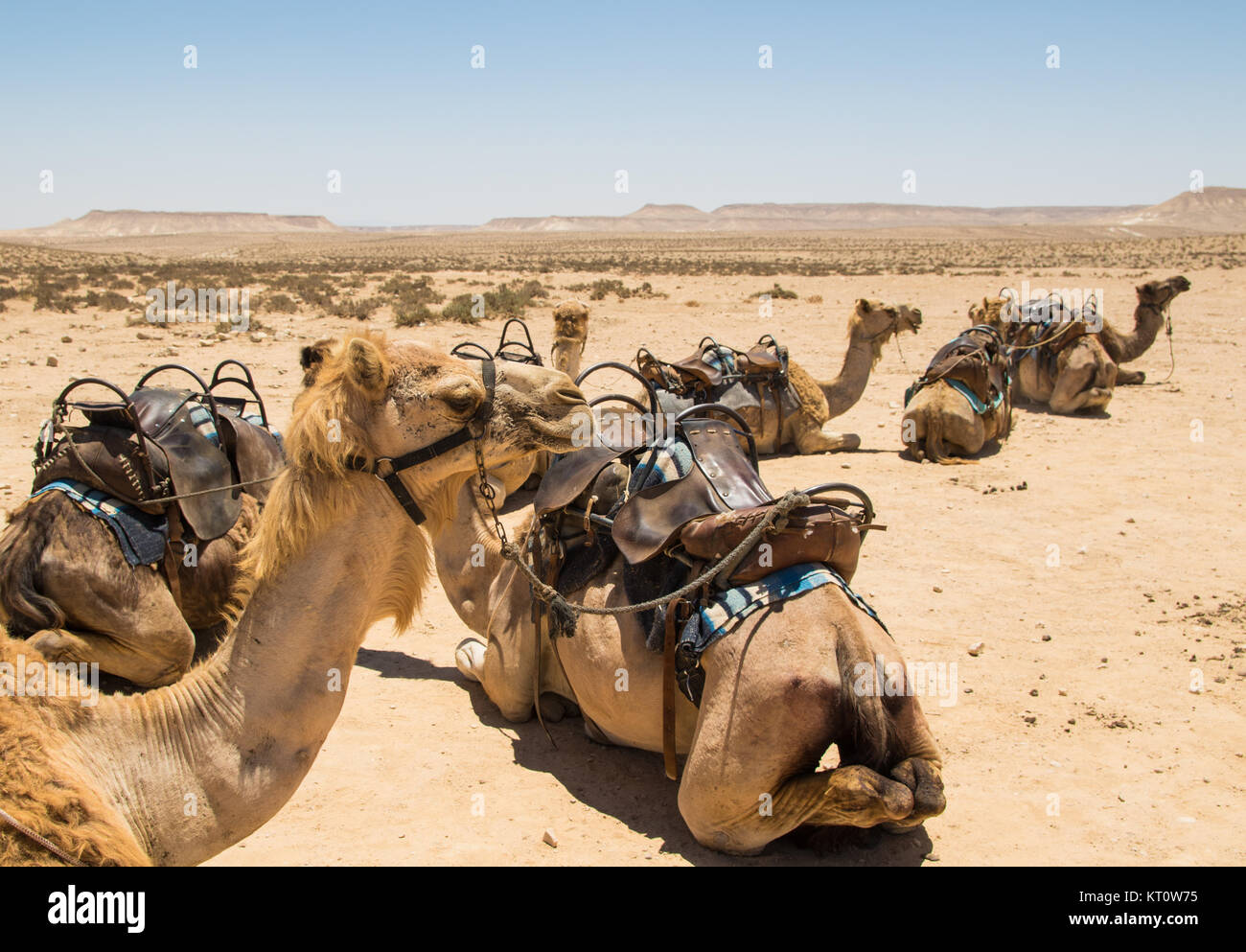 Camels resting in the Desert in the Negev, Israel - Stock Image