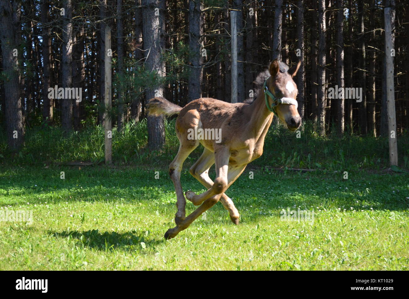 Foal - Stock Image