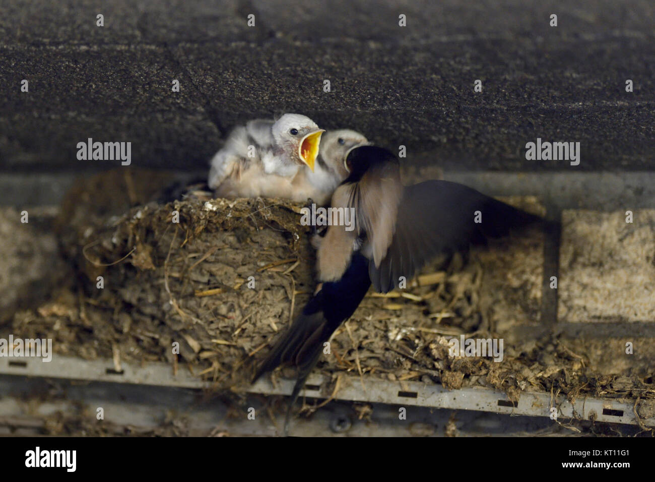 Barn Swallow / Swallows ( Hirundo rustica ), adult feeding its chicks in nest, two of them with white plumage, leucistic, - Stock Image