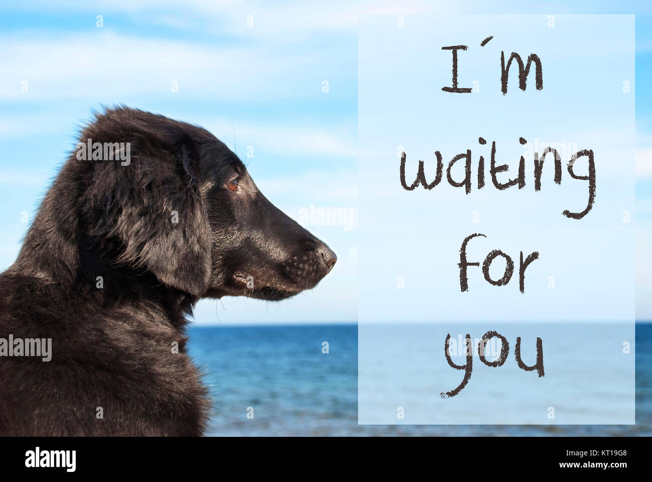 English Text I Am Waiting For You Flat Coated Retriever Dog Infront