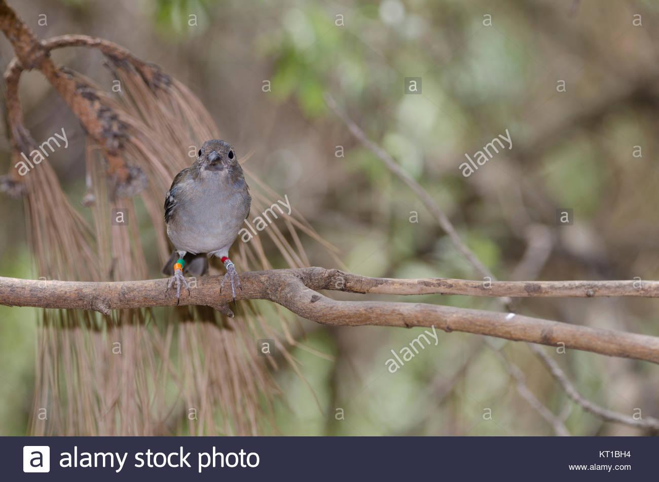 Gran Canaria blue chaffinch (Fringilla polatzeki). Young male. The Nublo Rural Park. Tejeda. Gran Canaria. Canary Stock Photo