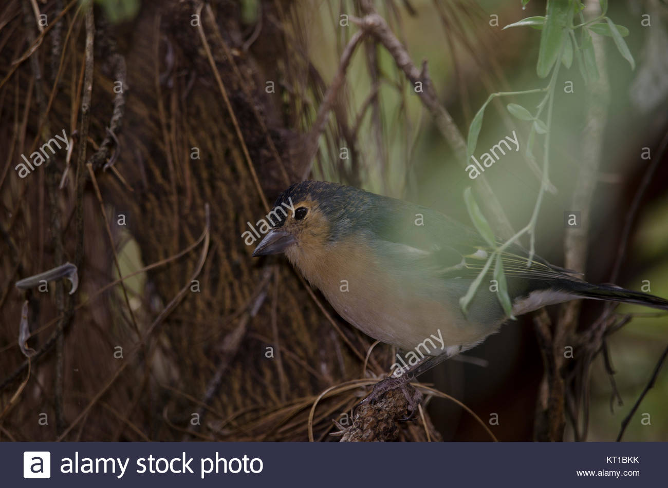 Common chaffinch (Fringilla coelebs canariensis). Male. The Nublo Rural Park. Tejeda. Gran Canaria. Canary Islands. - Stock Image