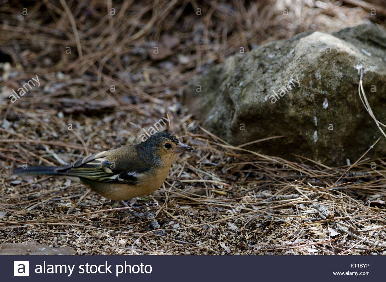 Common chaffinch (Fringilla coelebs canariensis). Second year male. The Nublo Rural Park. Tejeda. Gran Canaria. - Stock Image