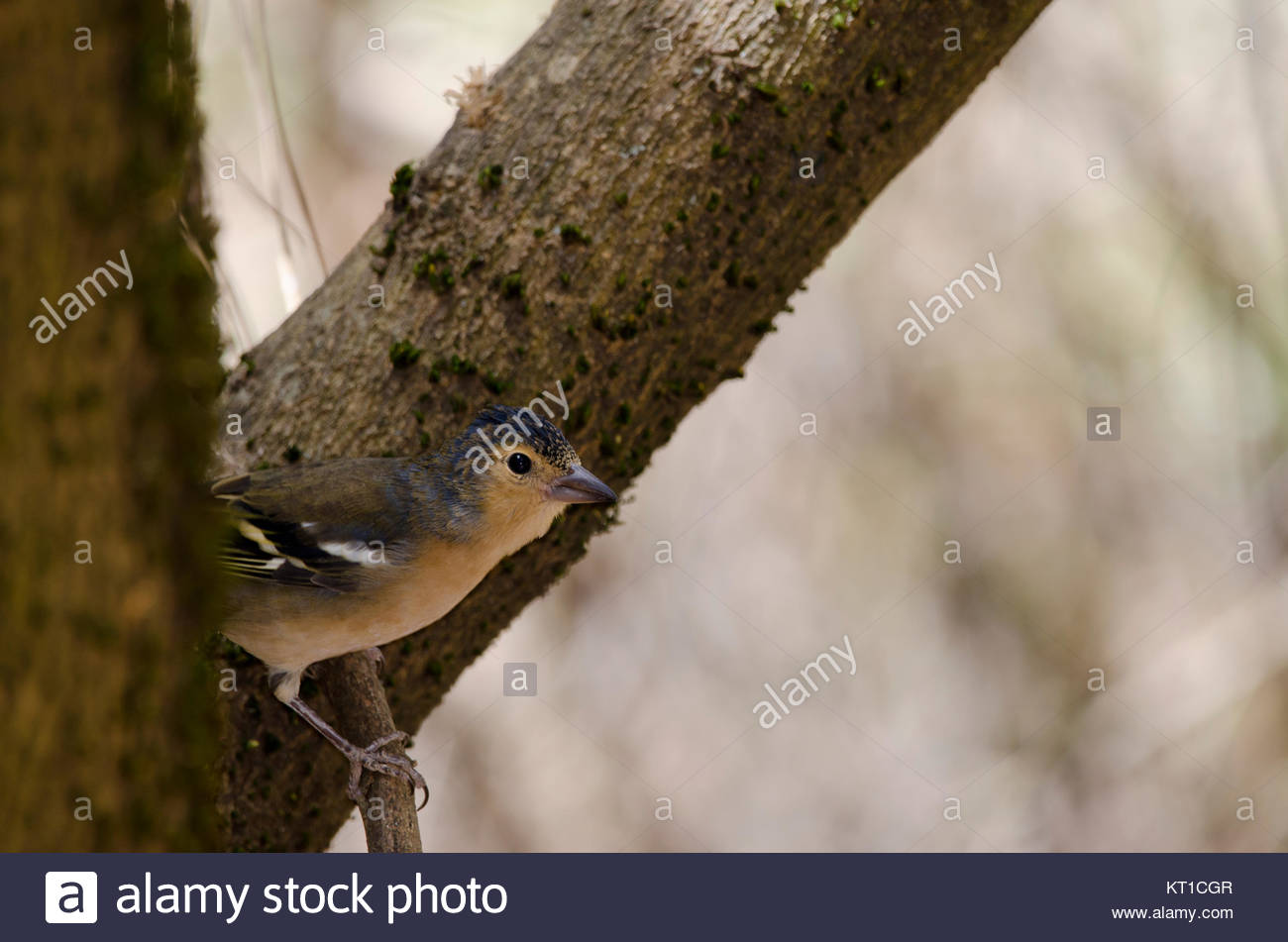 Common chaffinch (Fringilla coelebs canariensis). Male. The Nublo Rural Park. Tejeda. Gran Canaria. Canary Islands. - Stock Image