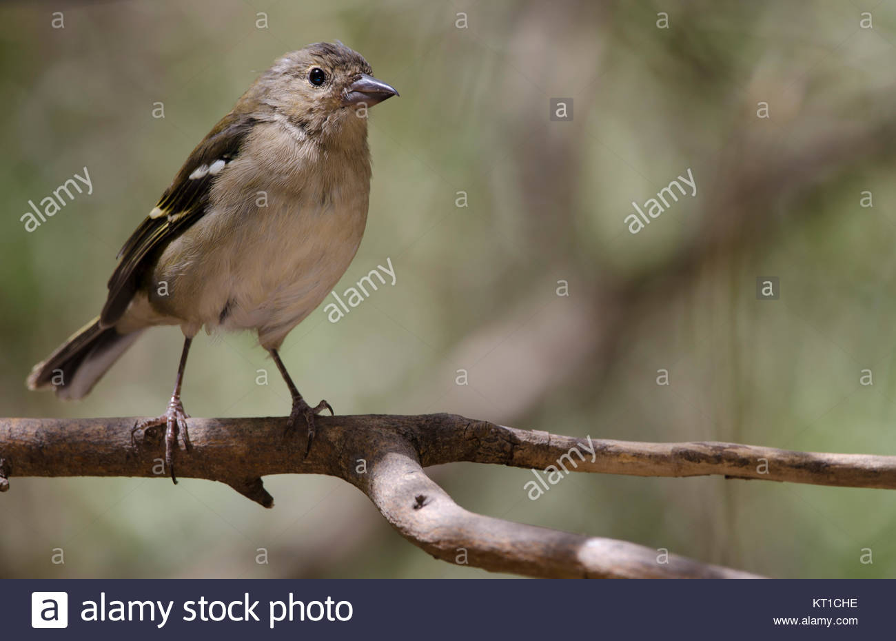 Common chaffinch (Fringilla coelebs canariensis). Female. The Nublo Rural Park. Tejeda. Gran Canaria. Canary Islands. - Stock Image