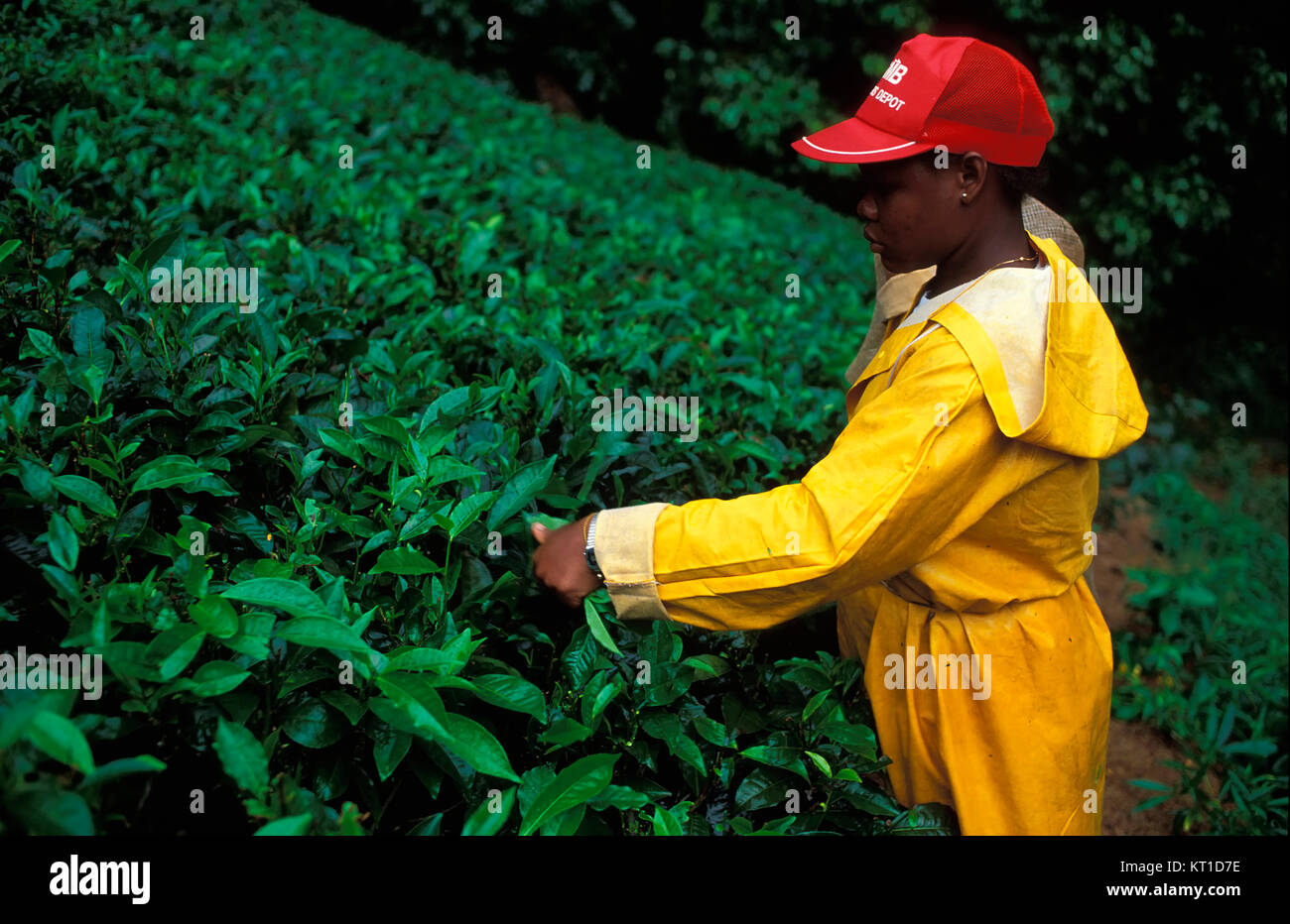 Tea platation, Mahe island, Seychelles - Stock Image