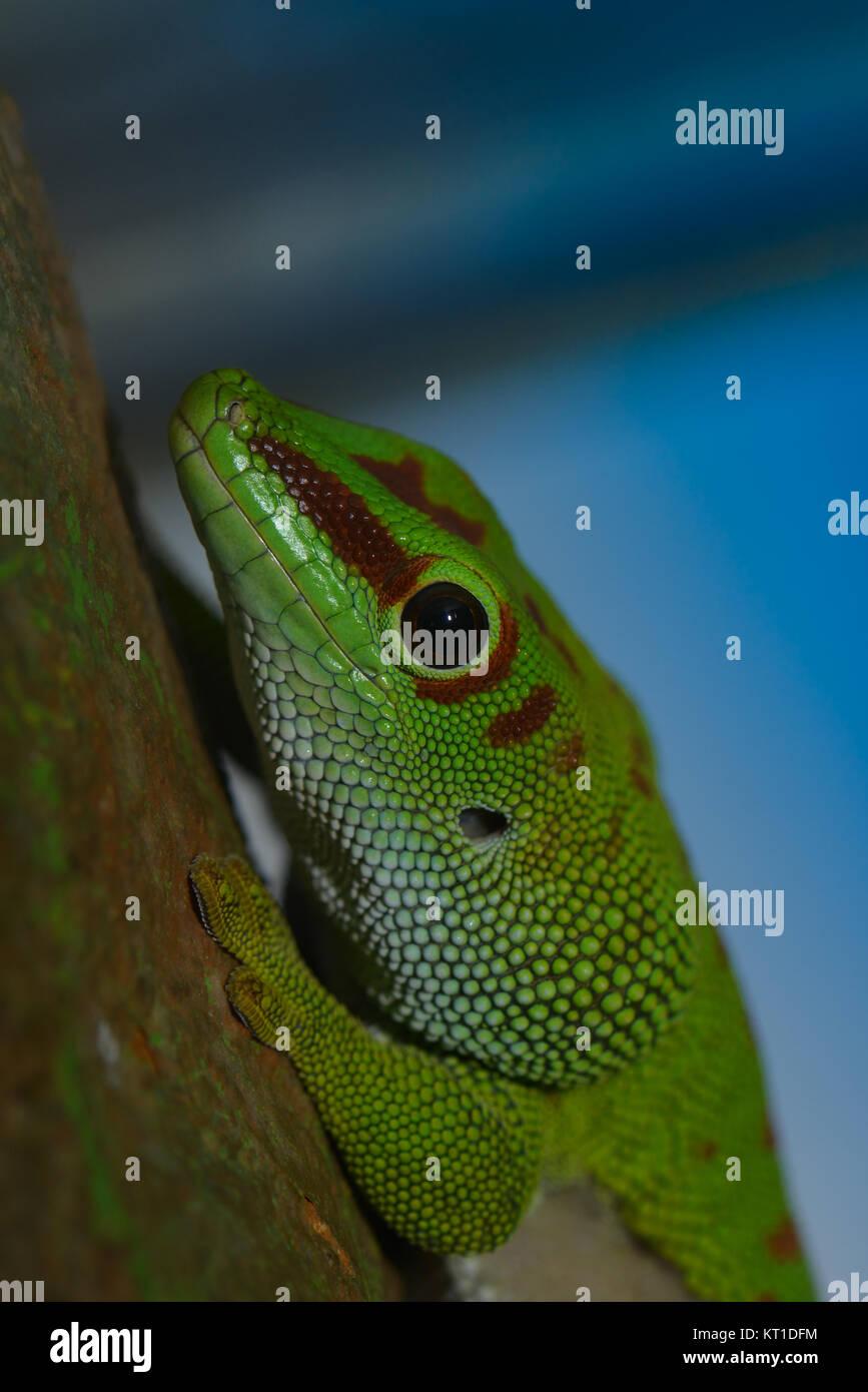 green dwarf gecko Stock Photo