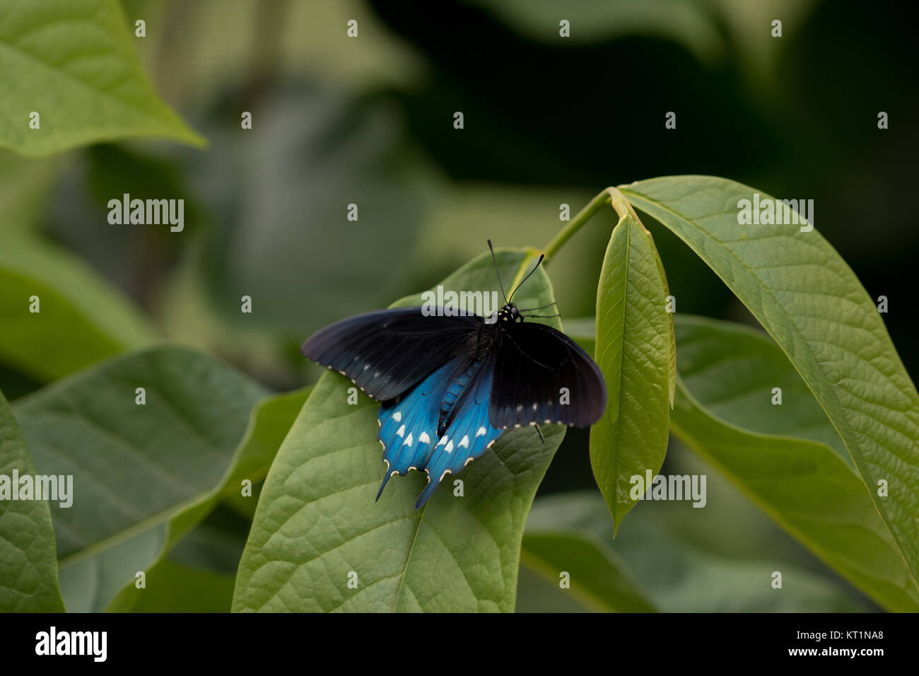 Pipevine swallowtail (Battus philenor) - Stock Image