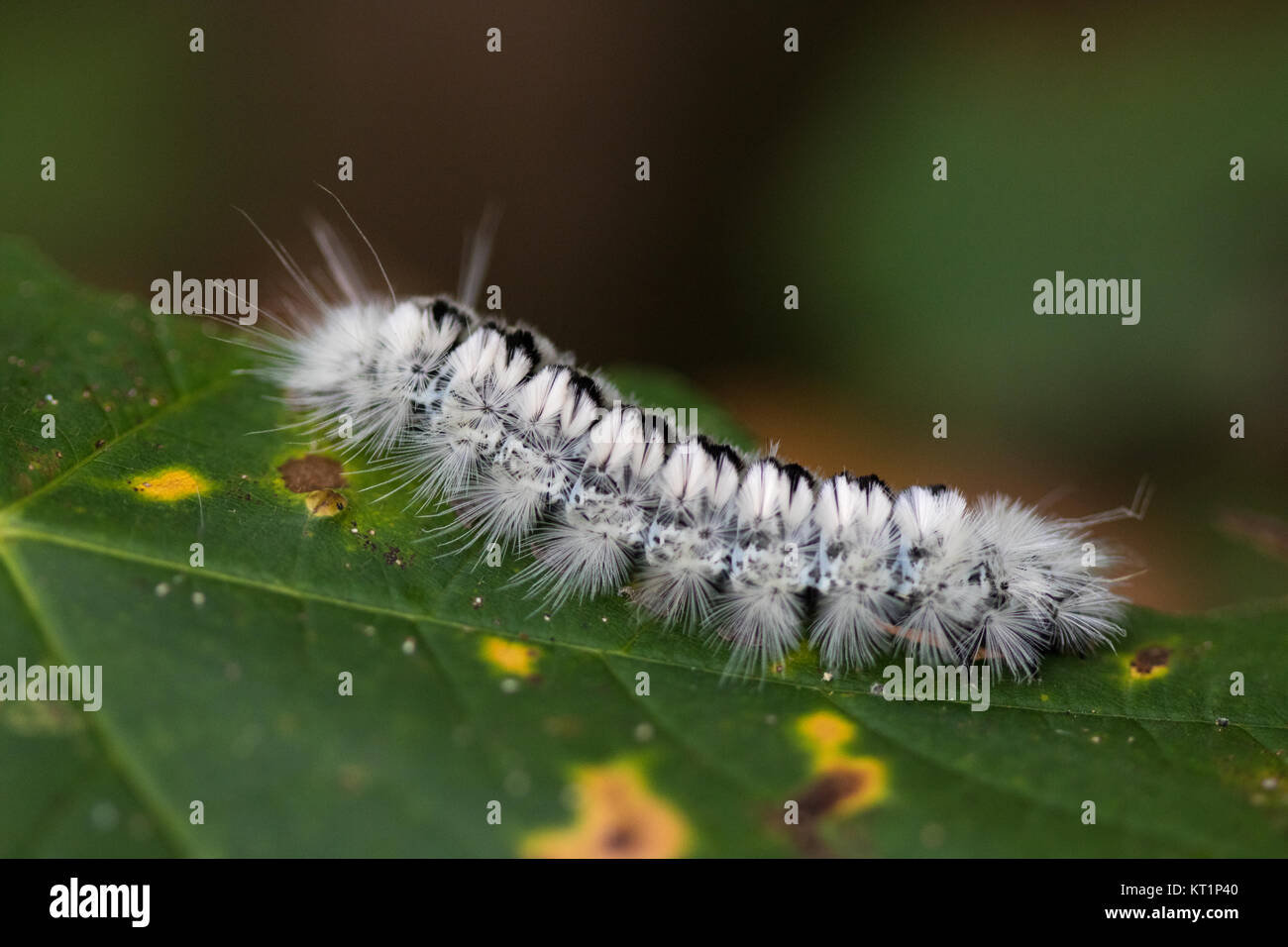 Hickory tussock moth caterpillar (Lophocampa caryae) on a hickory leaf - Stock Image