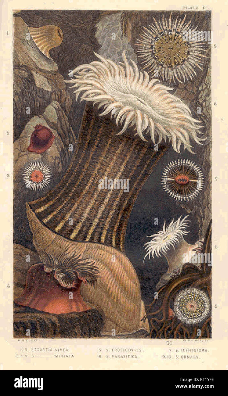 32636 1 Sagartia Nivea, 2 3 4 S Miniata,; 5 S Troglodytes, 6 S Parasitica, 7 S Icthystoma8 9 S Ornata Stock Photo