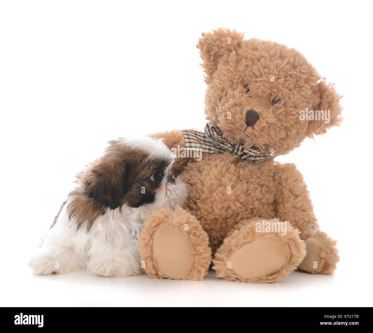 Shih Tzu Puppy With The Arm Of A Teddy Bear Around Him Stock Photo Alamy