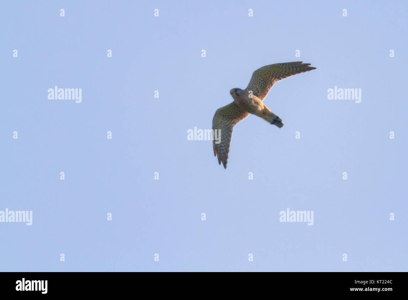 common krestel (falco tinnunculus) - Stock Image