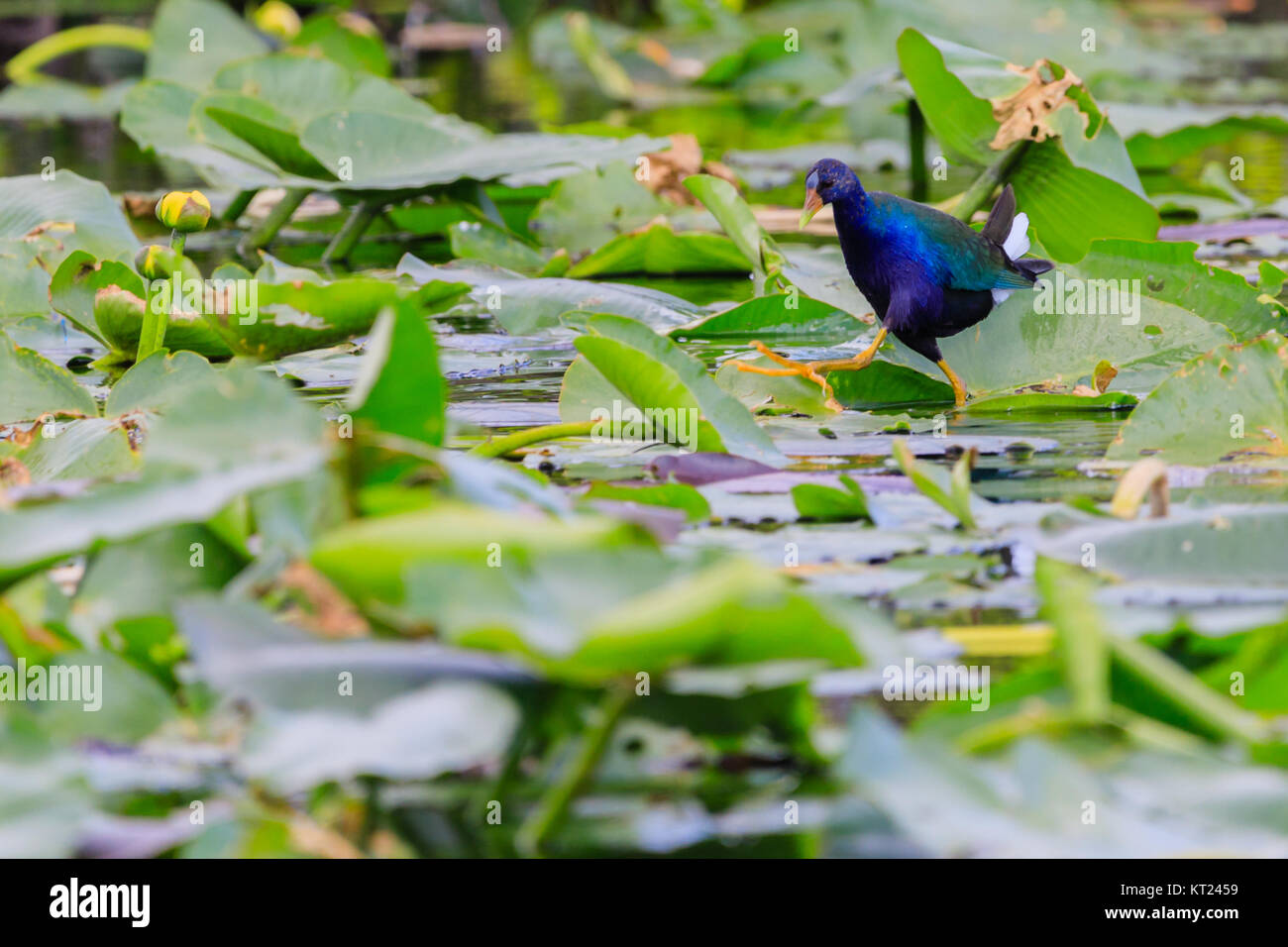 A male Purple Gallinule walking on lily pads in the swamp at Everglades National Park, Florida November 2017 Stock Photo