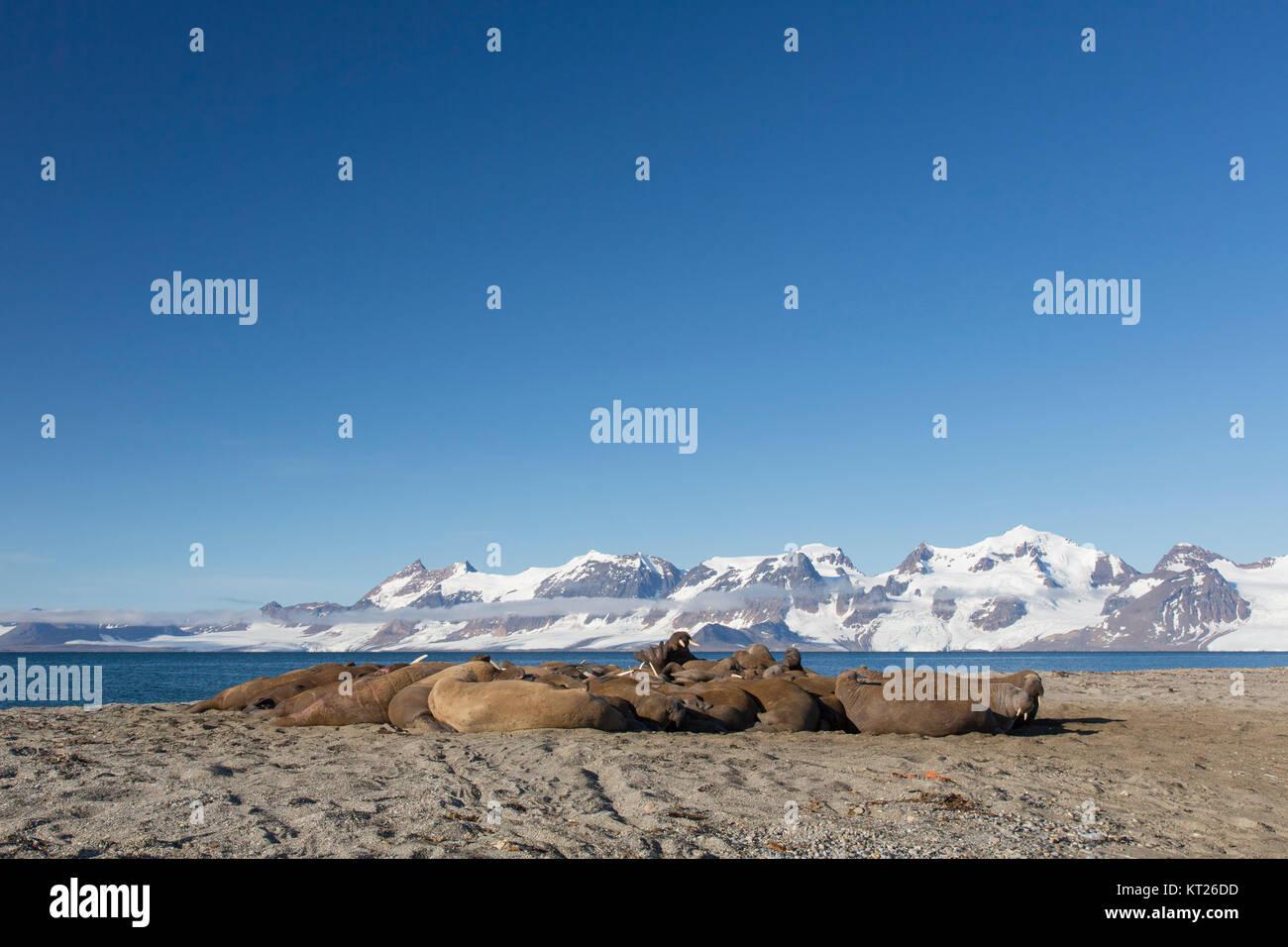 Group of male walruses (Odobenus rosmarus) resting on beach at Phippsøya in Sjuøyane, archipelago north of Nordaustlandet, Stock Photo