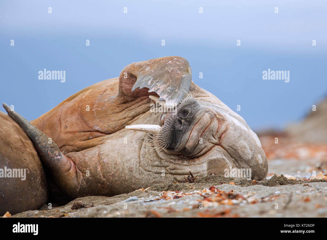 Male walrus (Odobenus rosmarus) resting on beach and scratching head with fore flipper, Svalbard / Spitsbergen, - Stock Image