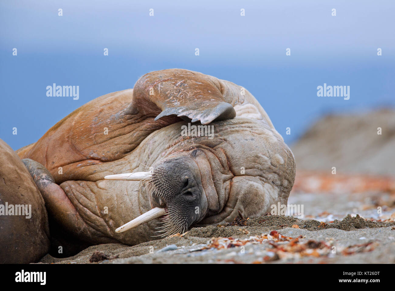 Male walrus (Odobenus rosmarus) resting on beach and scratching head with fore flipper, Svalbard / Spitsbergen, Stock Photo