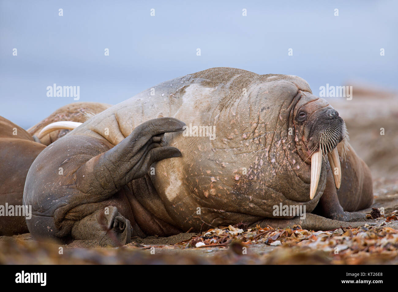 Sleepy male walrus (Odobenus rosmarus) resting on beach and scratching skin with hind flipper, Svalbard / Spitsbergen, - Stock Image