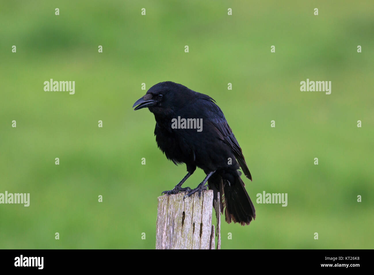 Carrion crow (Corvus corone) perched on wooden fence post along field - Stock Image