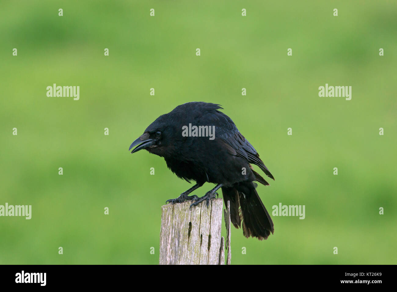 Carrion crow (Corvus corone) calling from wooden fence post along field - Stock Image