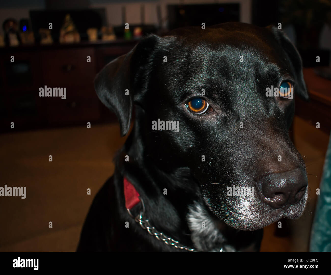 Portrait of a sitting black dog looking cute - Stock Image