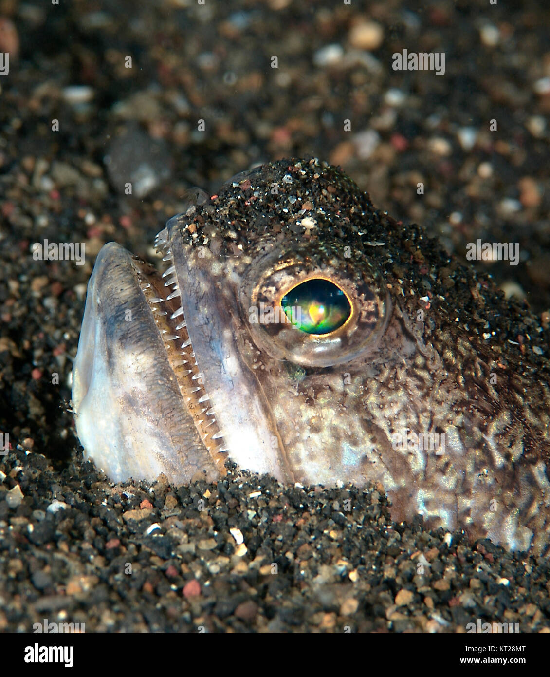JAWFISH HEAD STICKING OUT OF SEA FLOOR - Stock Image