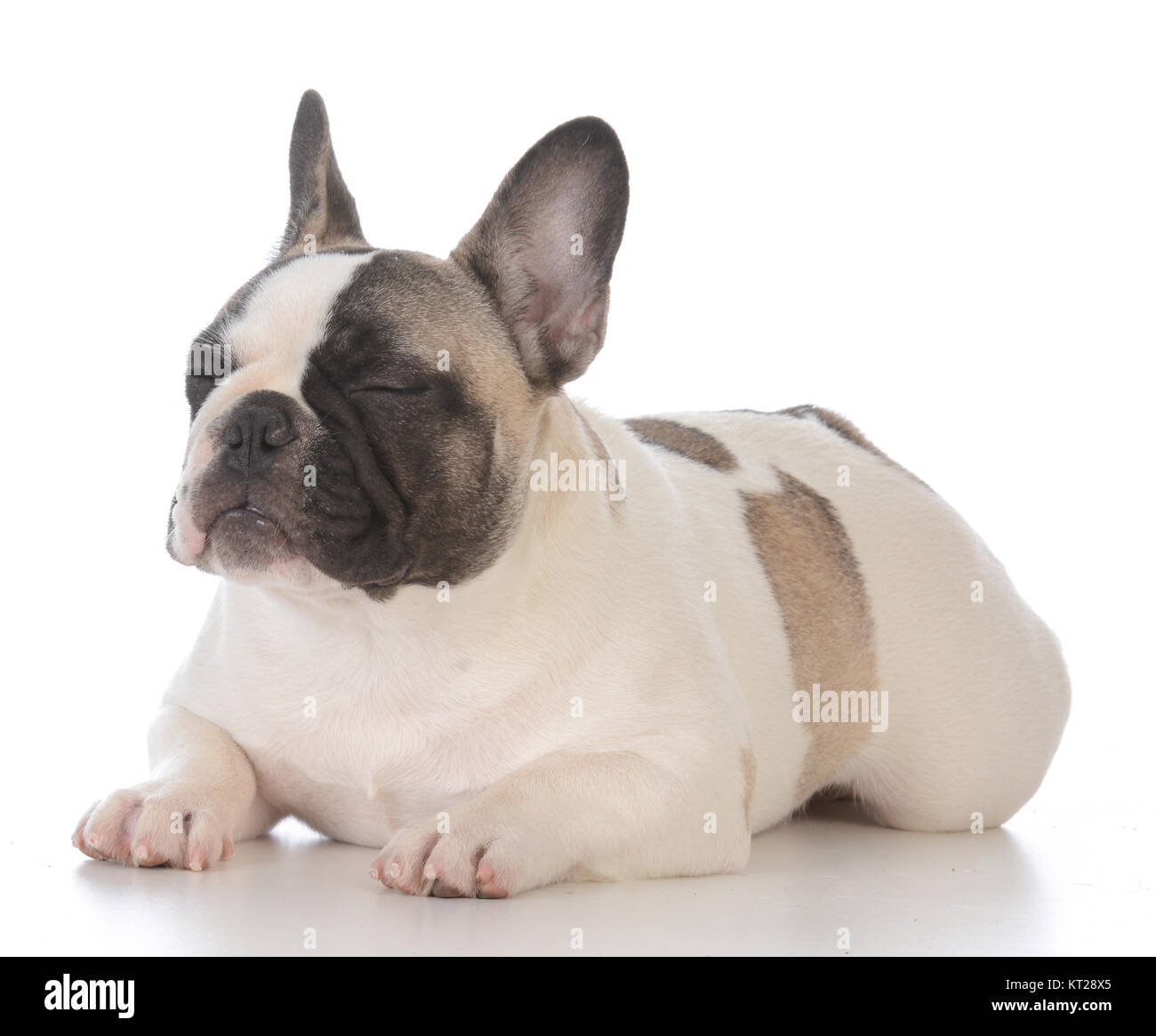 e26b8dfd804f adorable female french bulldog puppy laying down on white background ...