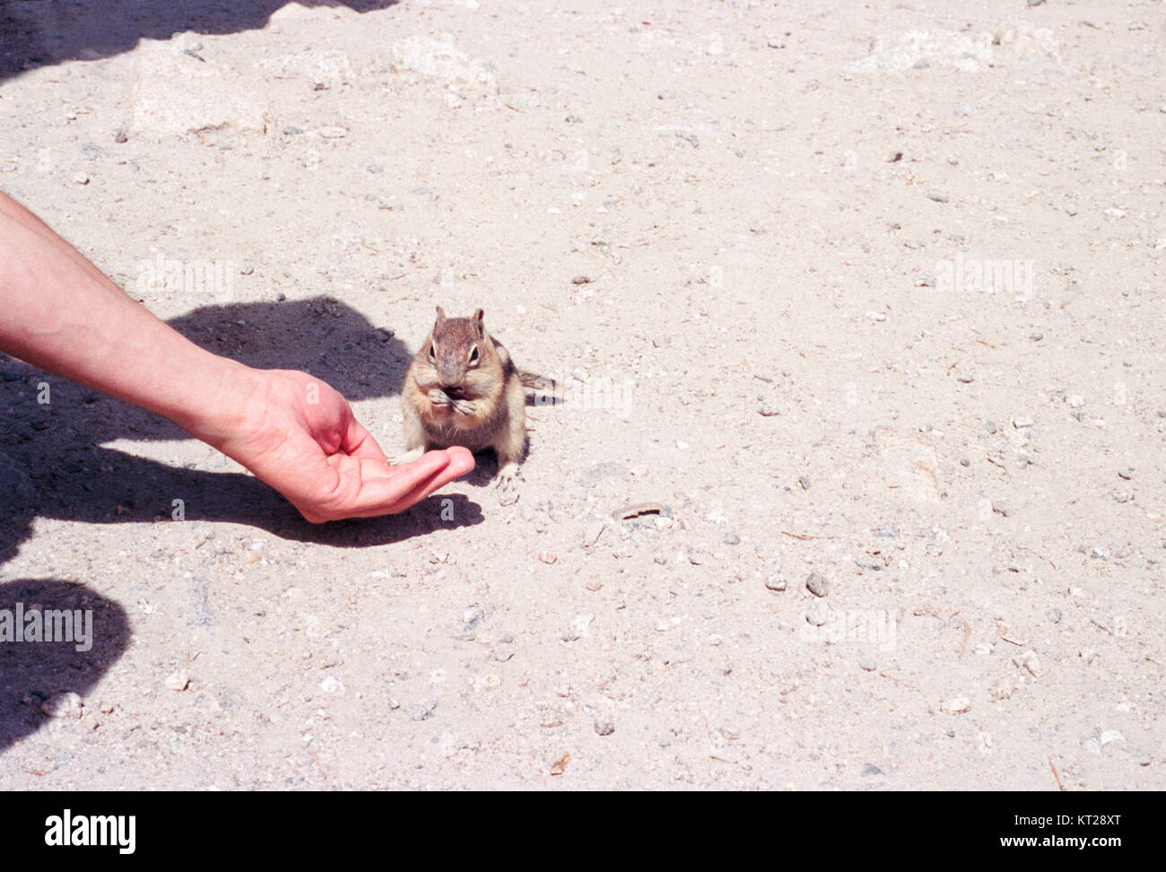 Cute and friendly chipmunk eating out of outstretched hand Stock Photo