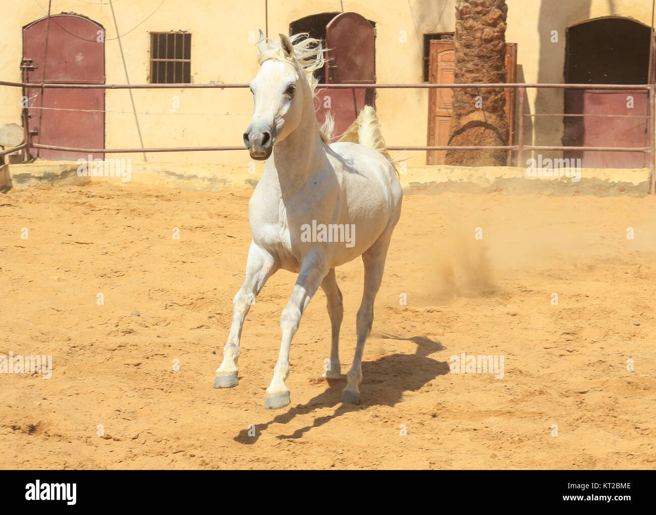 Arabian Horse in a sandy ranch/ featuring Arabian Horse in a sandy field in sunny day Stock Photo