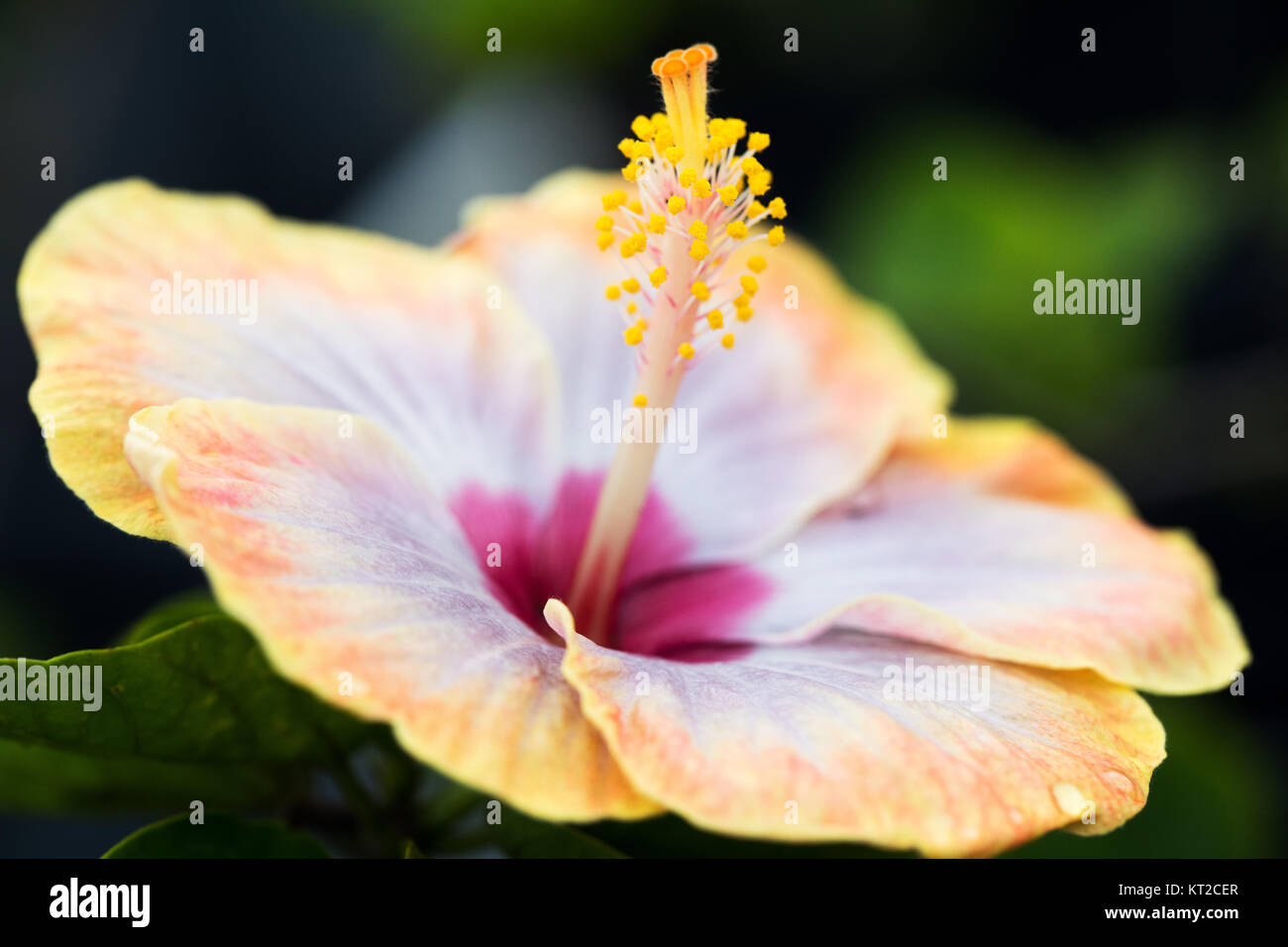 Close Up Of Yellow Tropical Hibiscus Flower With Stamen Stock Photo