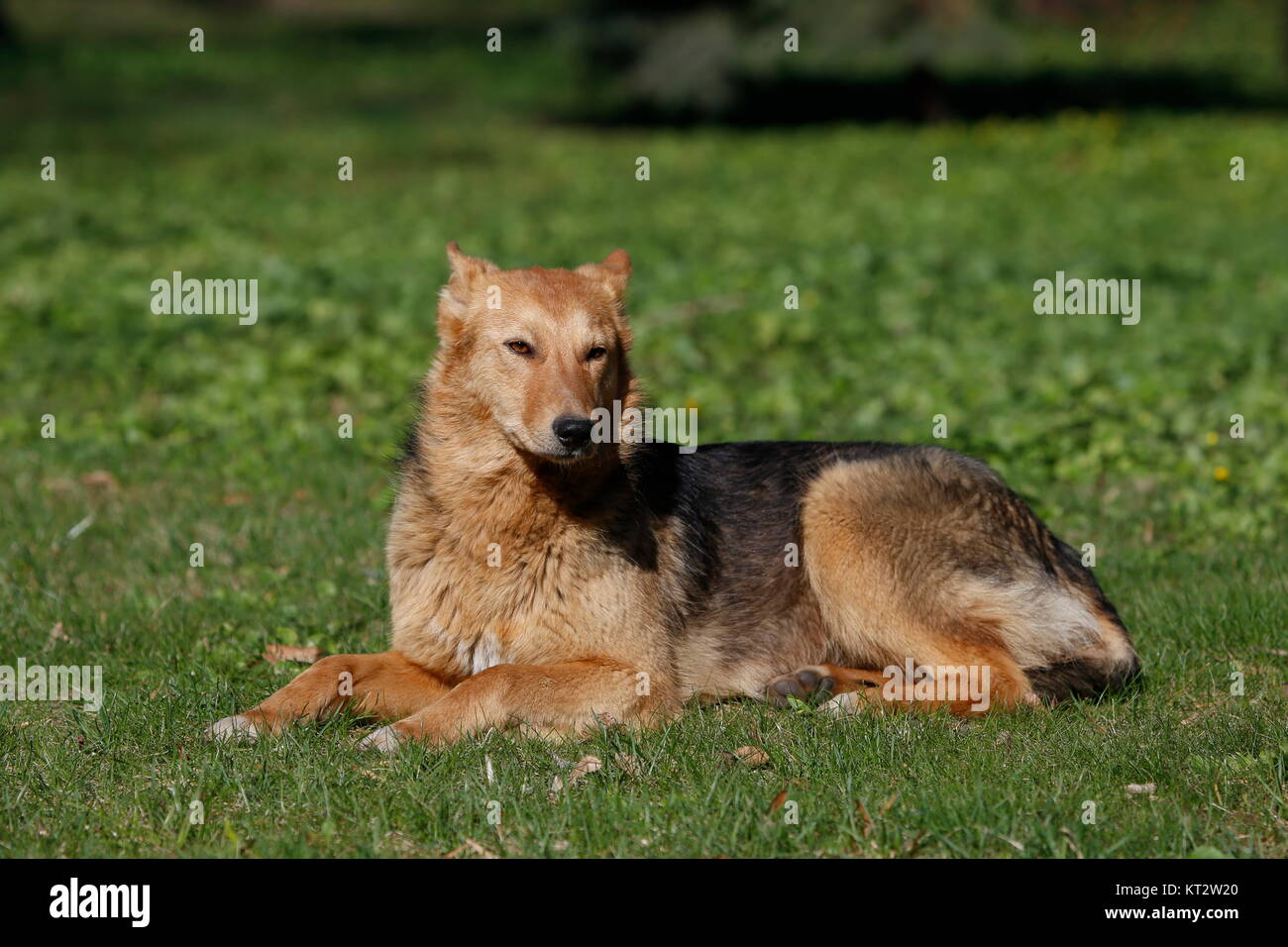 Big dog lying on the grass.Street dog. An unrelated animal. Friend of human.A lonely dog. A non-pedigree dog - Stock Image