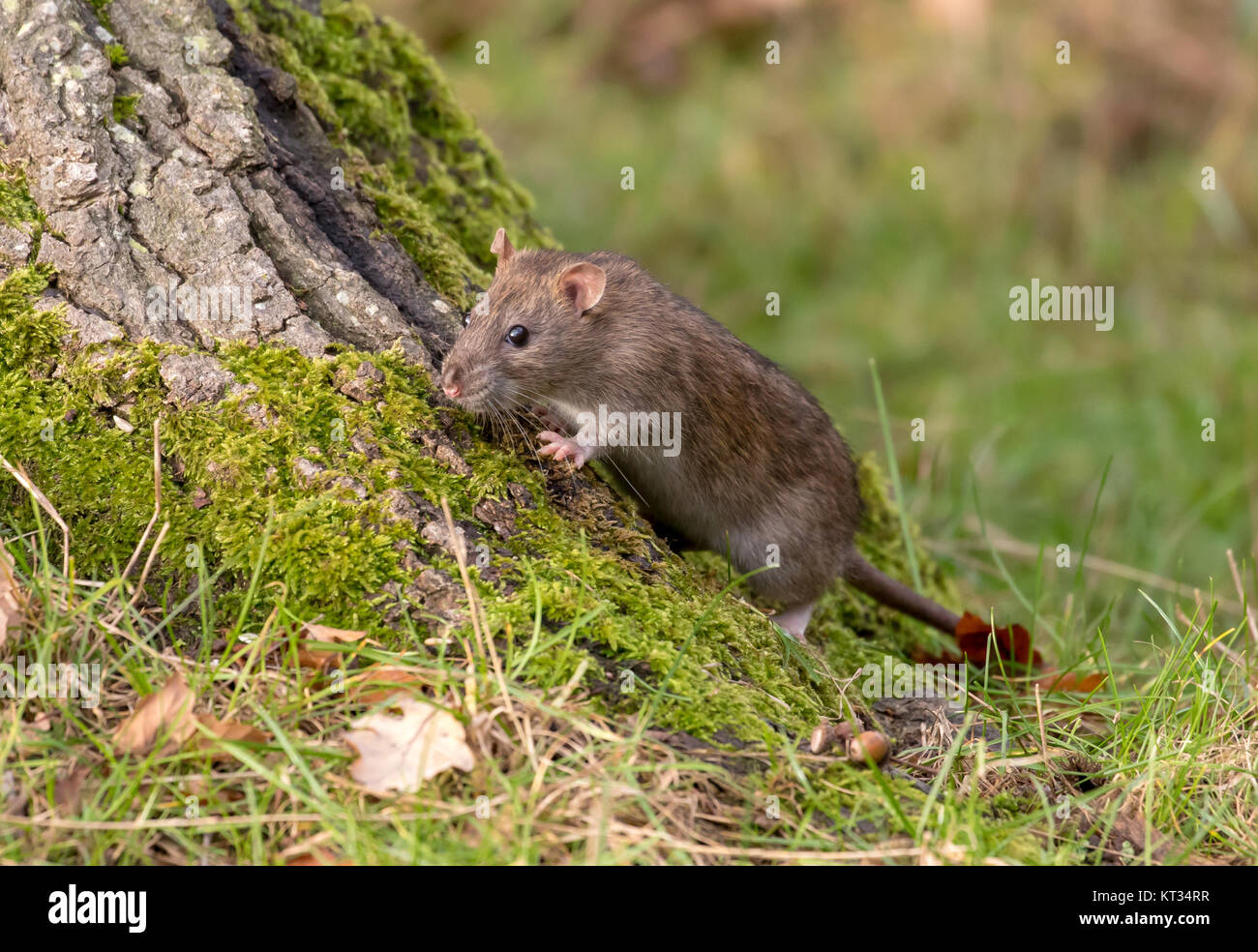 Wild Brown Rat, UK - Stock Image