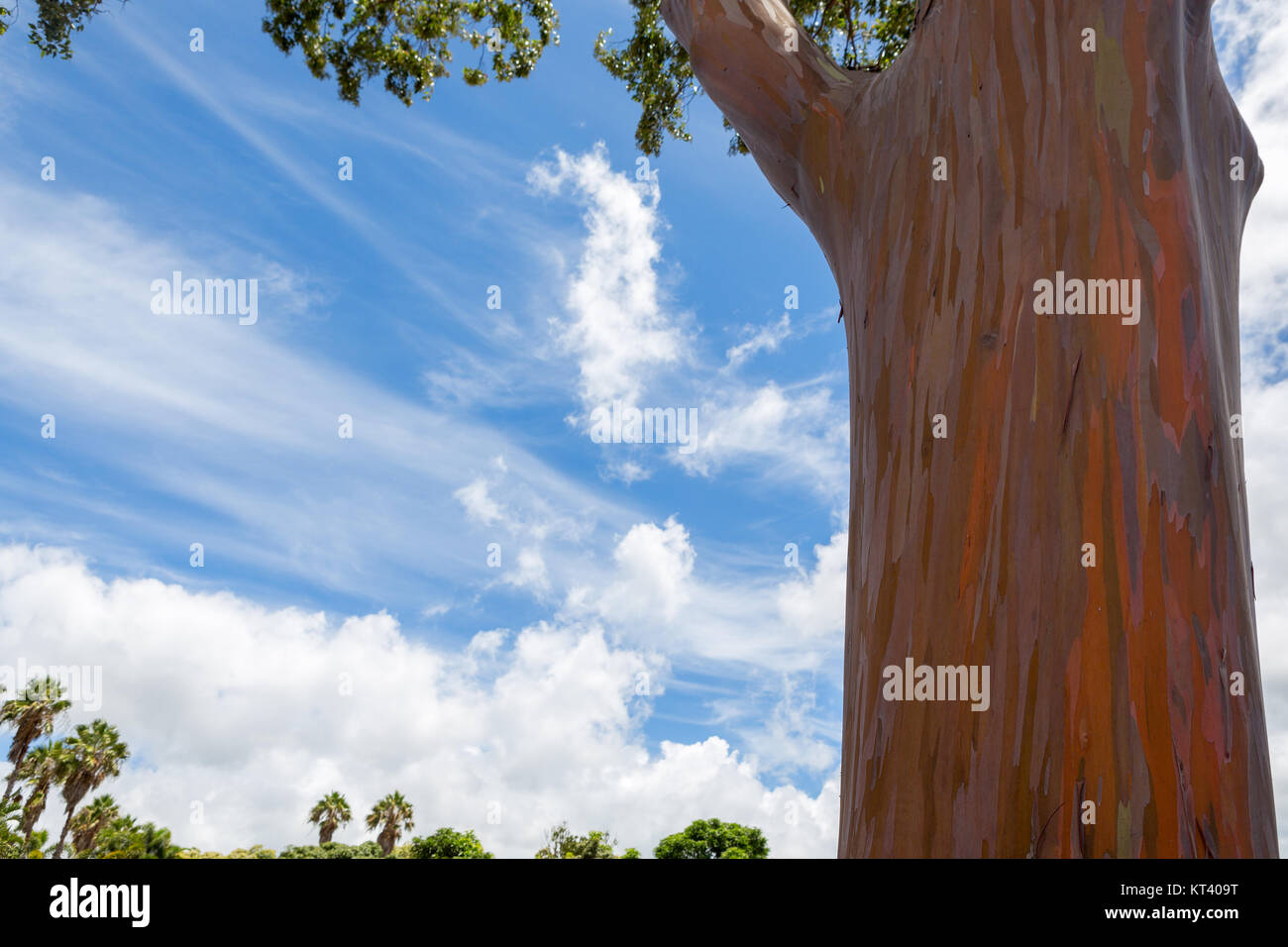 Trunk of a Eucalyptus deglupta tree in Oahu, Hawaii showing the typical peeling of the bark revealing green wood - Stock Image
